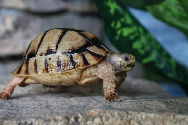 Египетская черепаха | www.zoo-ekzo.ru — продажа экзотических животных
