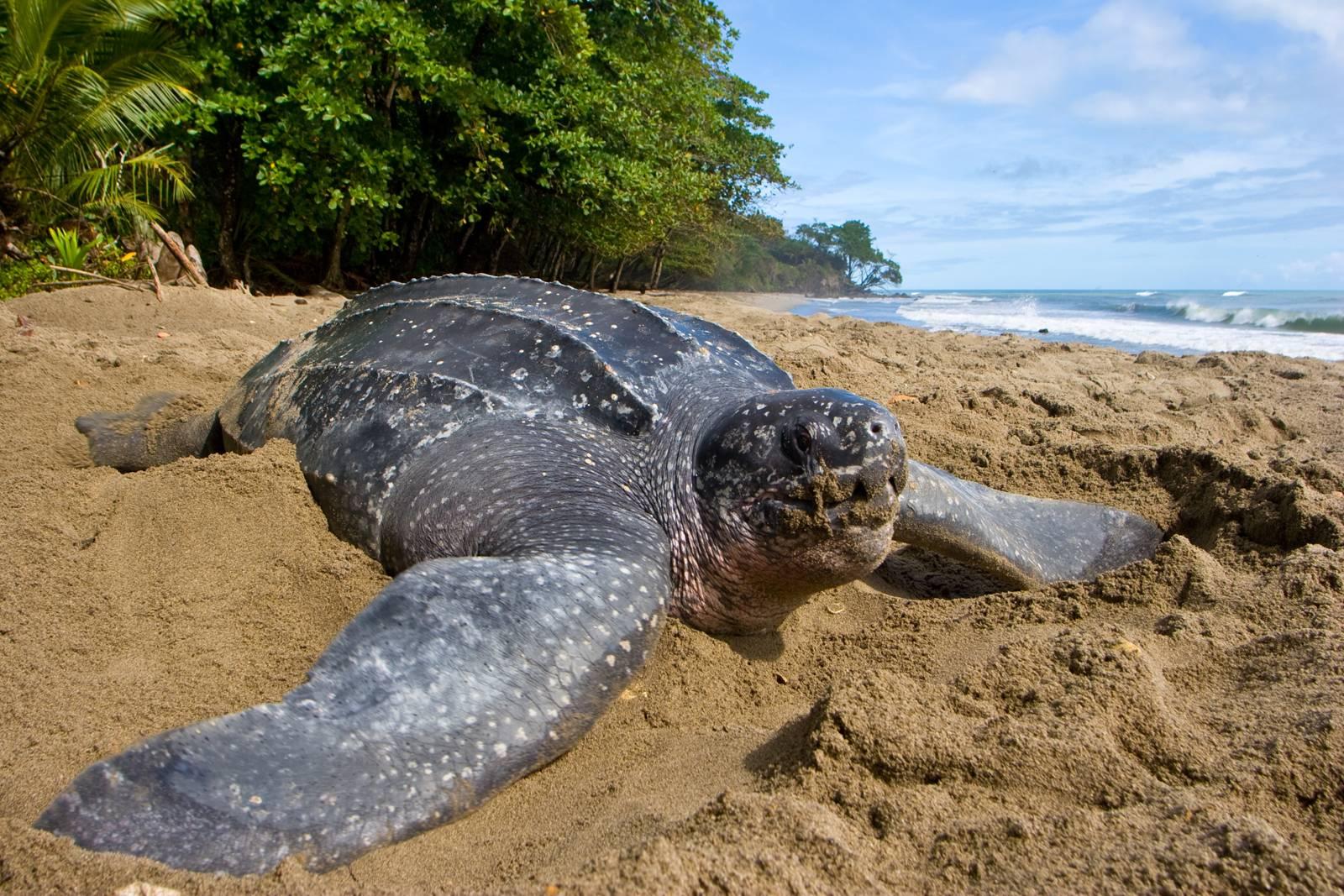 Кожистая черепаха — википедия