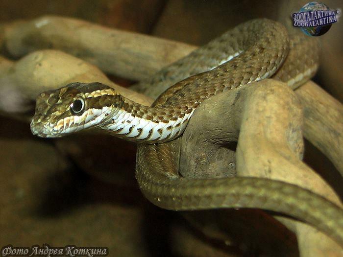 Змея-стрела