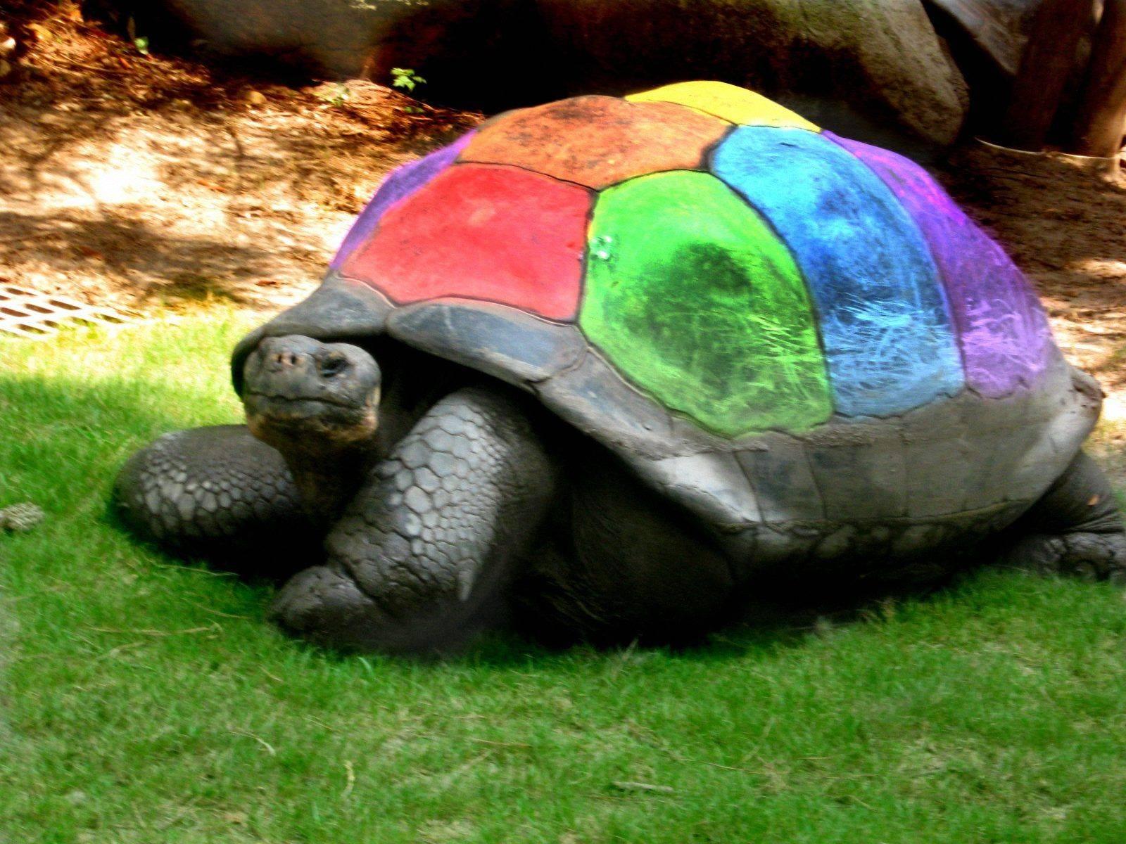 Звездчатая черепаха, полосатые красавицы