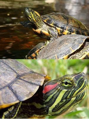 Сухопутные черепахи. информация по уходу. - все о сухопутных черепахах
