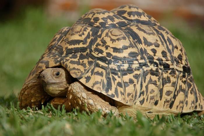 Как ухаживать за леопардовой черепахой: 8 шагов