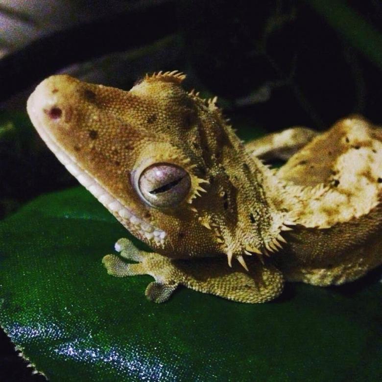 Ресничный геккон бананоед