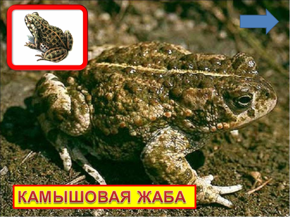 Камышовая жаба — представитель красной книги