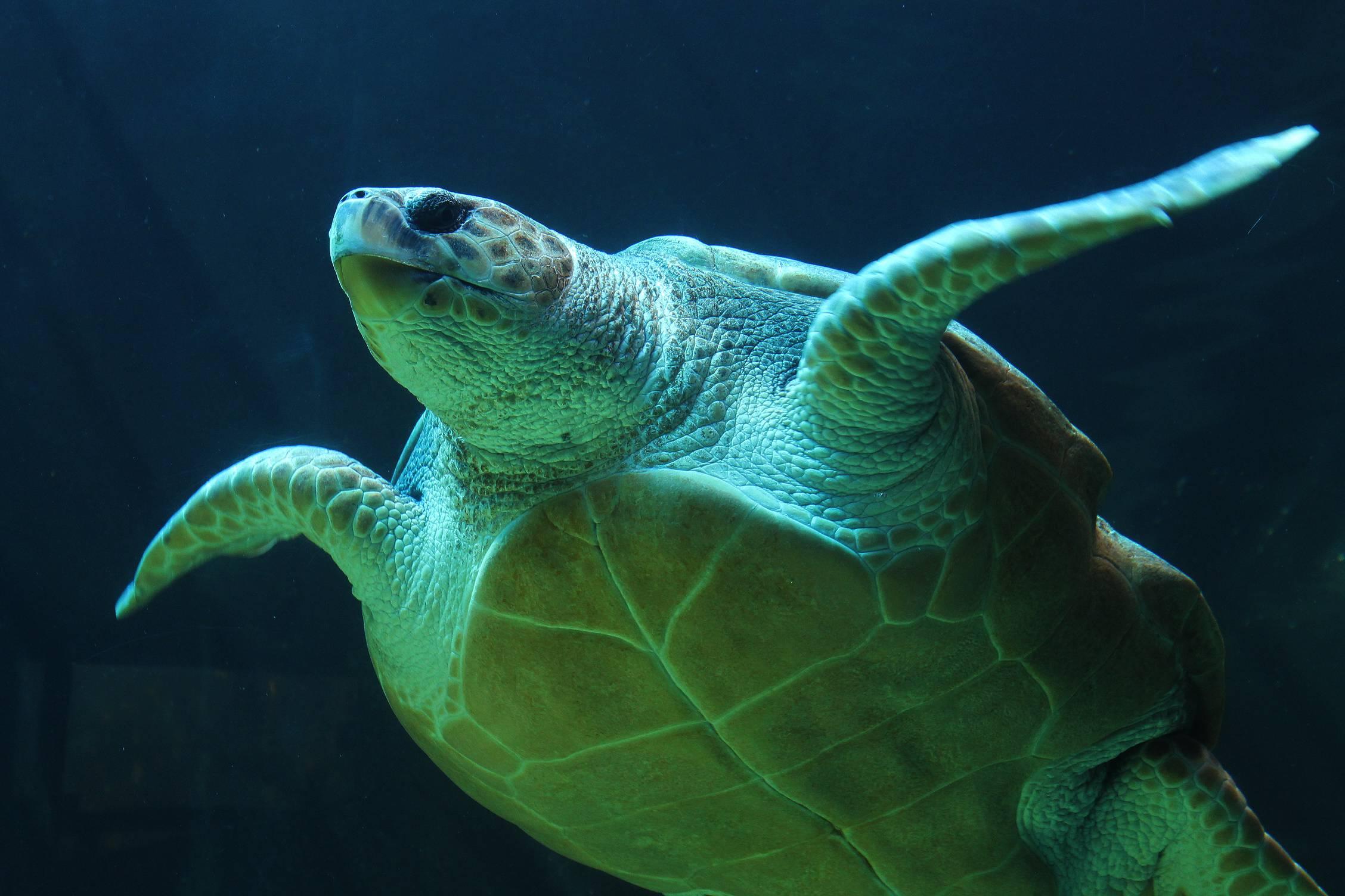 Зелёная черепаха — википедия с видео // wiki 2