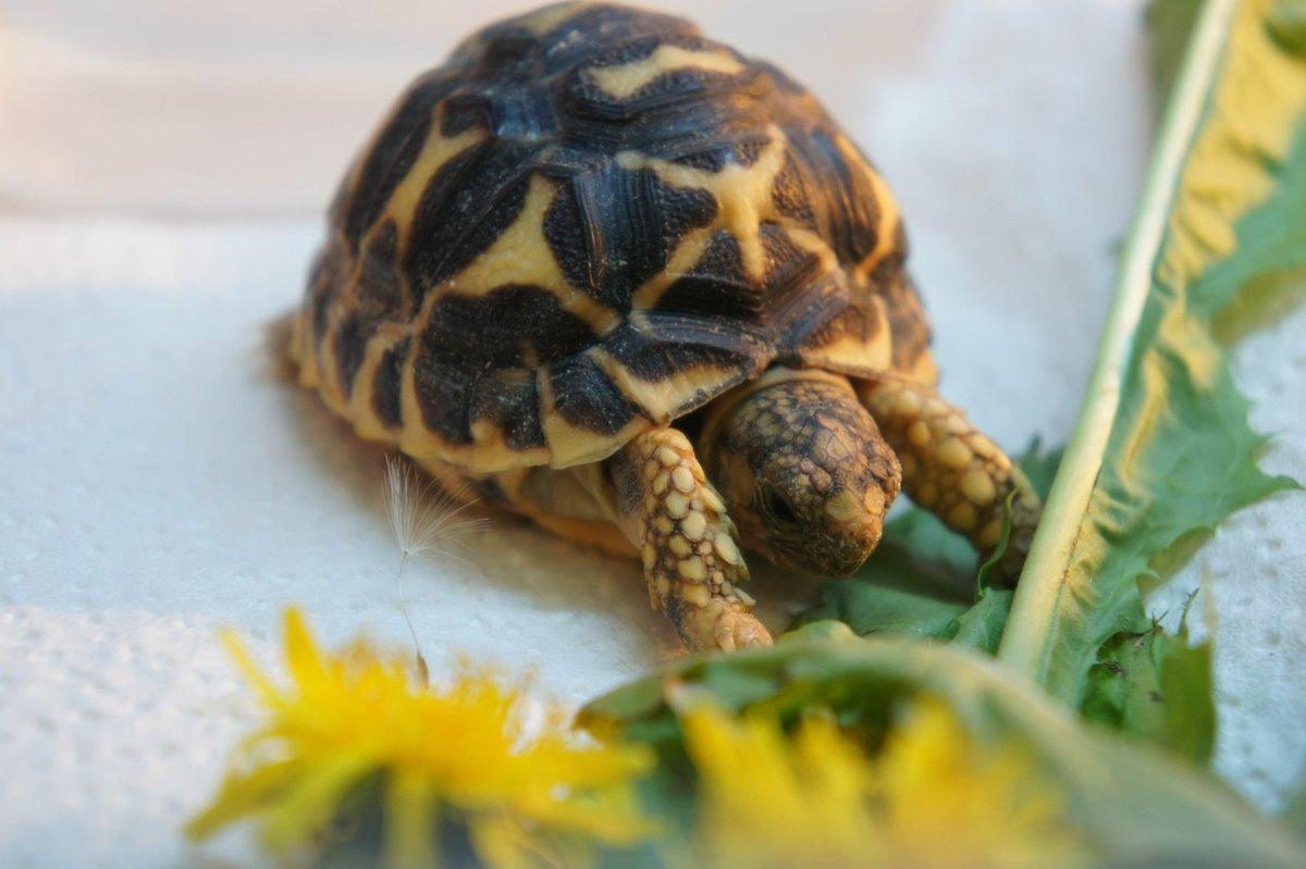 Большеголовая черепаха, таинственное пресмыкающееся