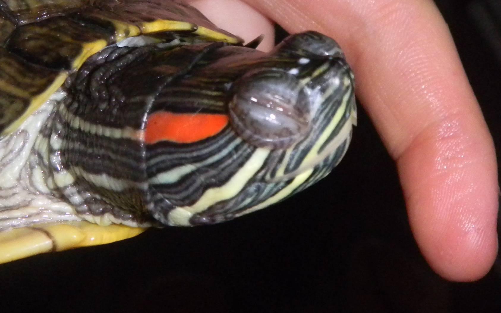 Как лечить отит у красноухих черепах в домашних условиях