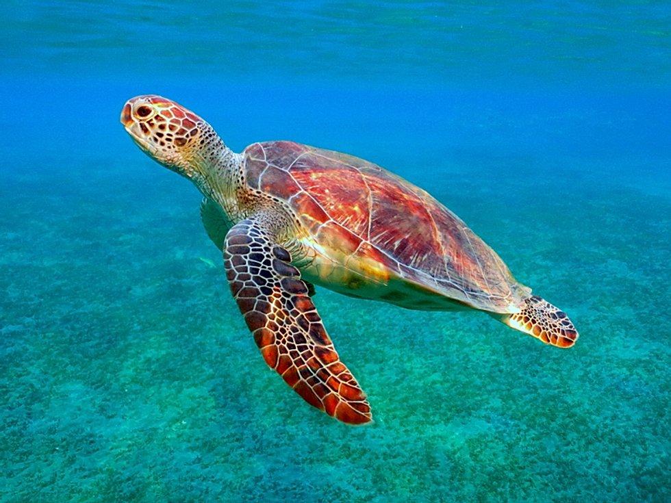 Зелёная черепаха - вики