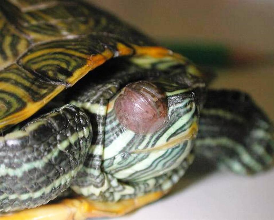 Самые частые болезни красноухих черепах