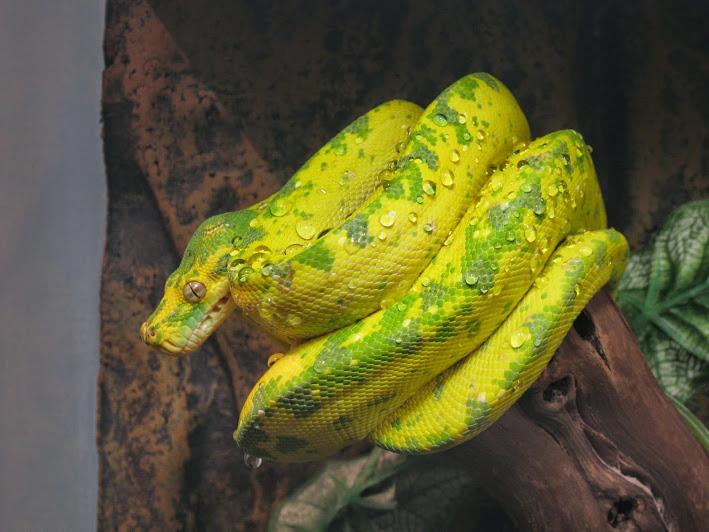 Домашняя змея