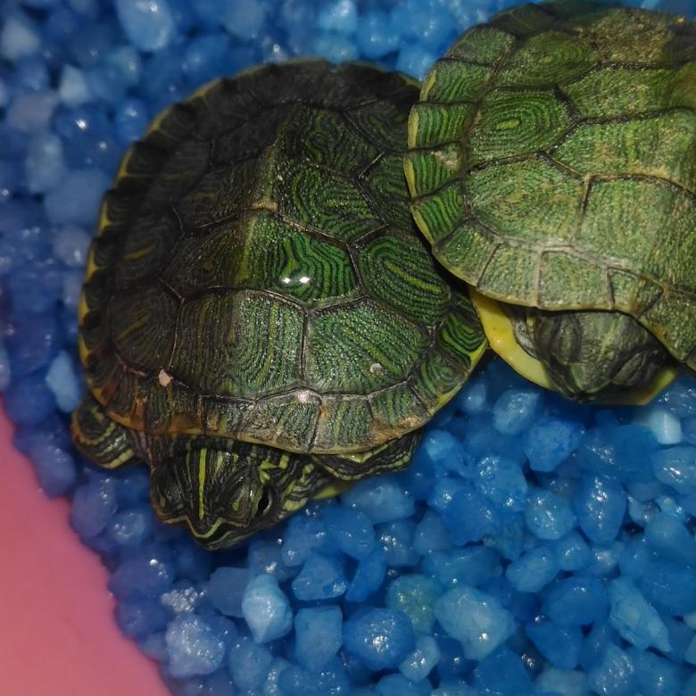Где и когда лучше приобретать красноухую черепаху?