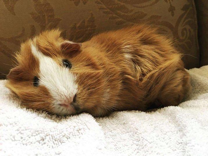 Когда и как спят морские свинки