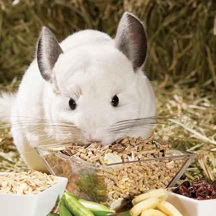 Чем кормить шиншиллу?