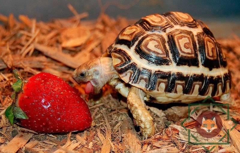 Леопардовая черепаха — википедия с видео // wiki 2