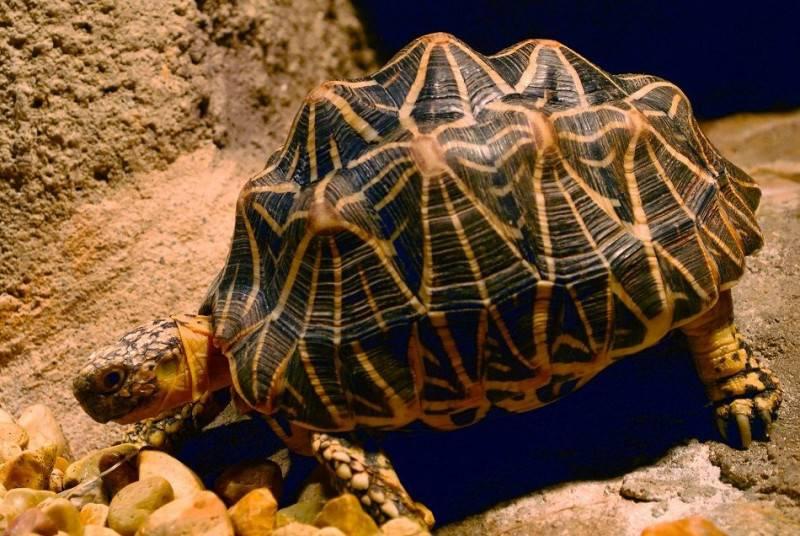 Geochelone elegans (индийская звездчатая черепаха) - черепахи.ру - все о черепахах и для черепах