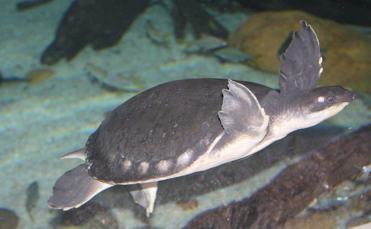 Carettochelys insculpta (двухкоготная, свинорылая черепаха) - черепахи.ру - все о черепахах и для черепах
