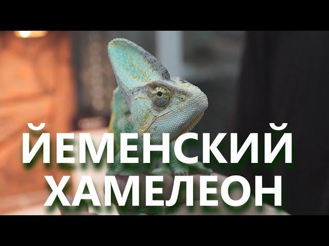 Домашний хамелеон
