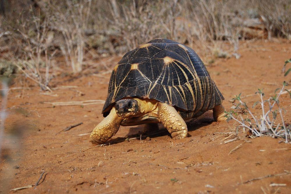 Лучистая черепаха - вики