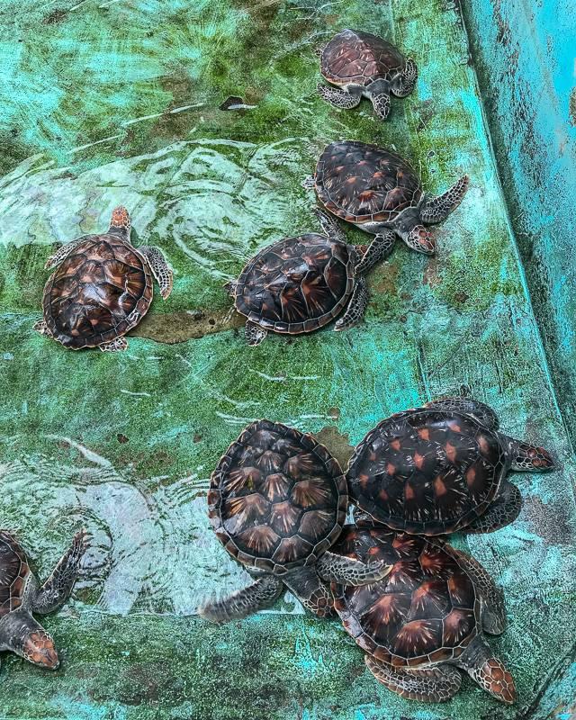 Черепаха сельское хозяйство - turtle farming - qwe.wiki