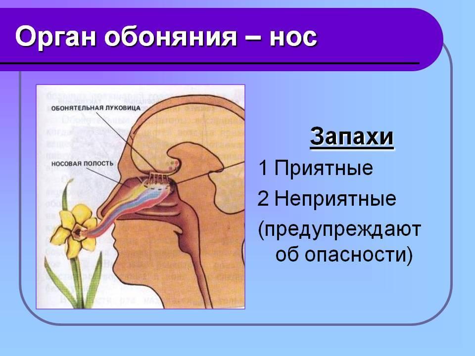 Органы равновесия, осязания, обоняния, вкуса