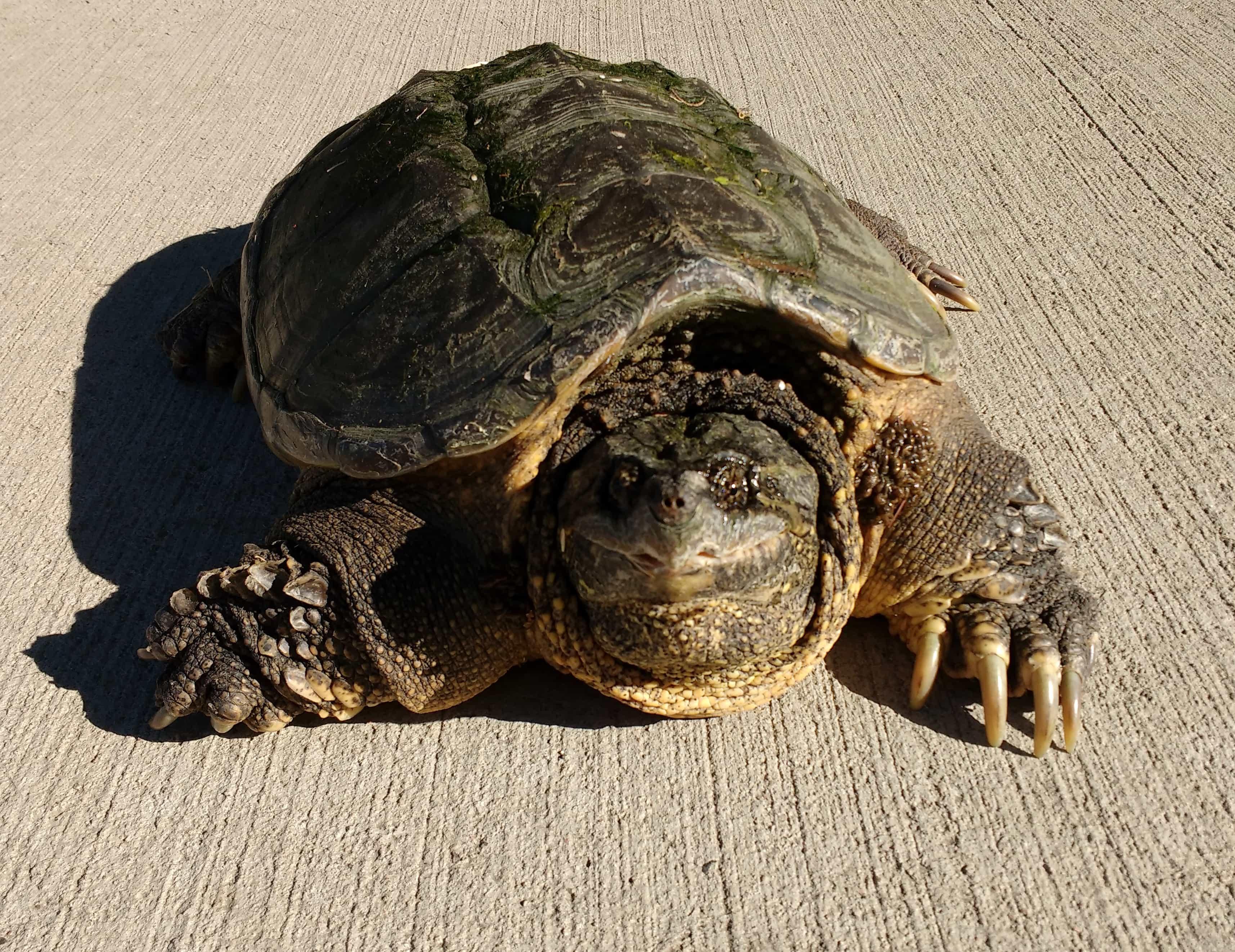 Жизнь кожистой черепахи и любопытные факты о ней