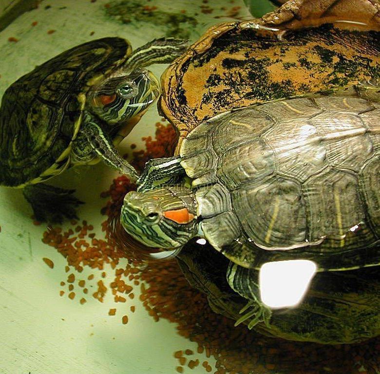 Сколько раз, как и чем кормить красноухую черепаху