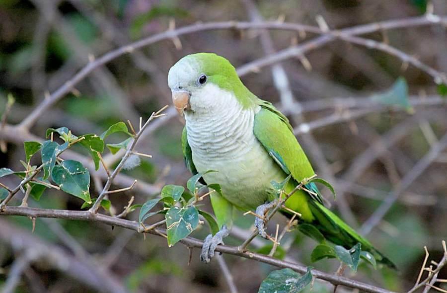 Попугай квакер: особенности, темперамент и характер, содержание дома