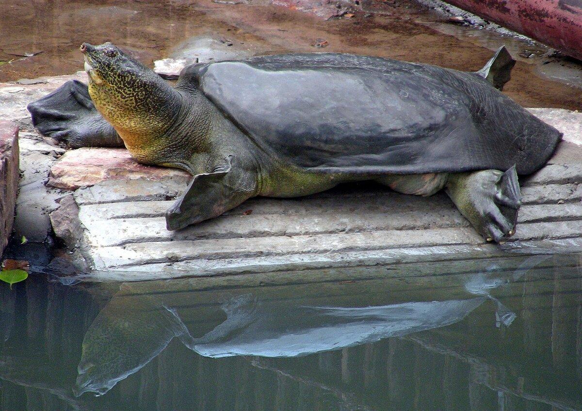 Китайский трионикс: мягкотелая черепаха в домашних условиях