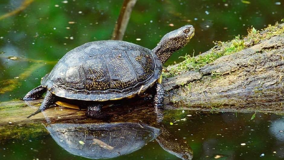 Черепаха болотная википедия