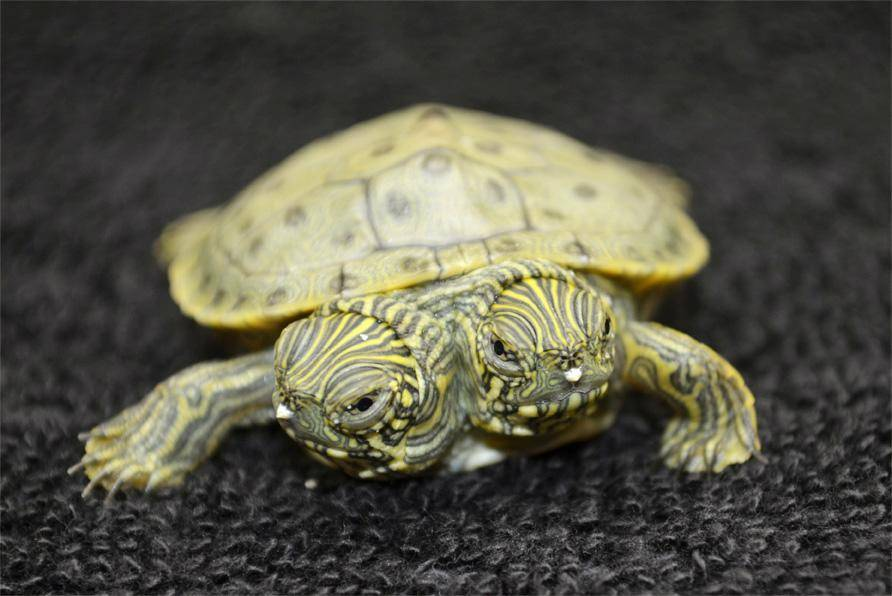 Где посмотреть на черепах в россии (центральный фо)? - черепахи.ру - все о черепахах и для черепах
