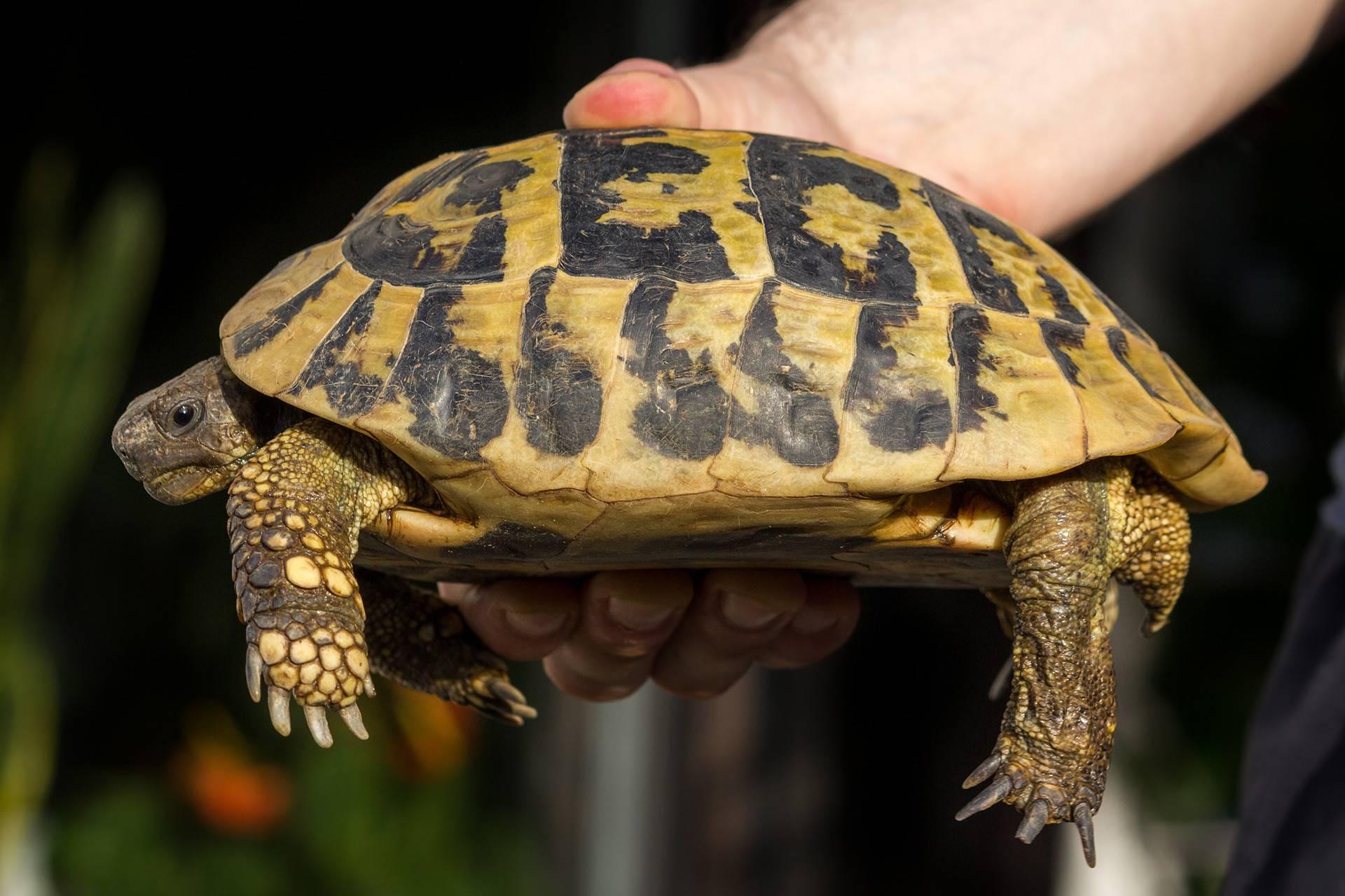 Ядовитая черепаха