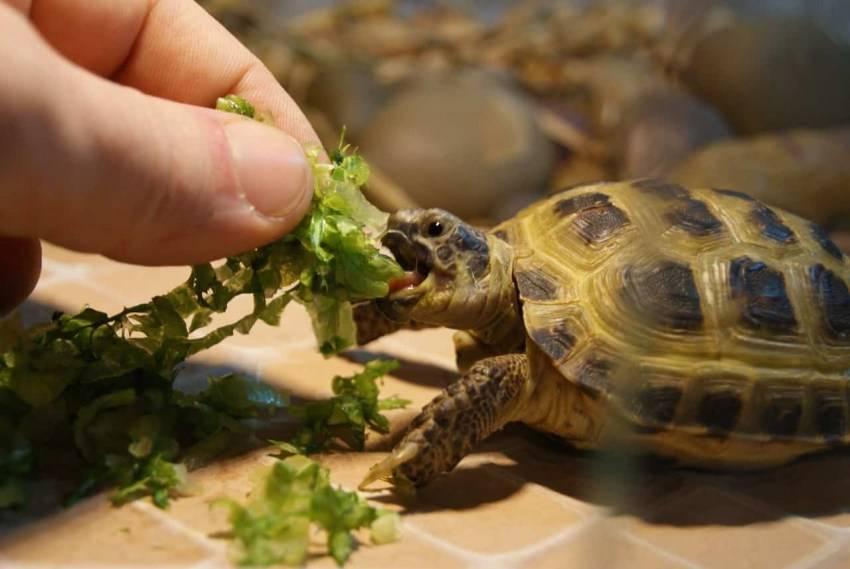 Чем кормить черепах — инструкции и советы для кормления разных видов черепах!