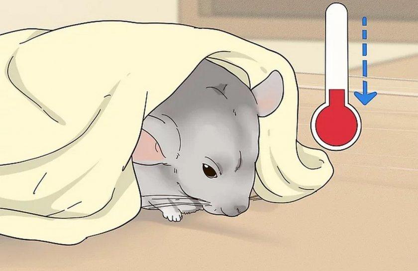 Простудные заболевания у шиншиллы