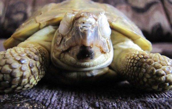 Панофтальмит у черепахи лечение. у черепахи опухли глаза - причины, болезни, лечение