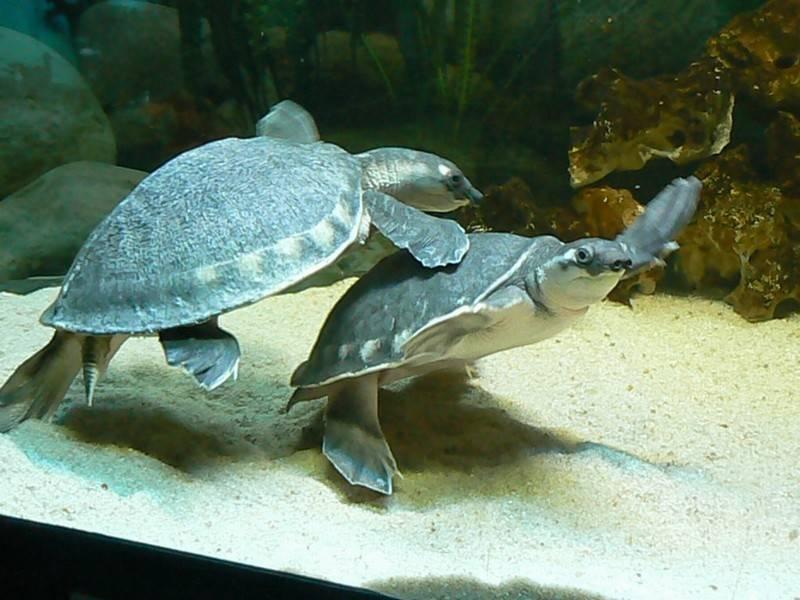 Свинья носа черепаха - pig-nosed turtle