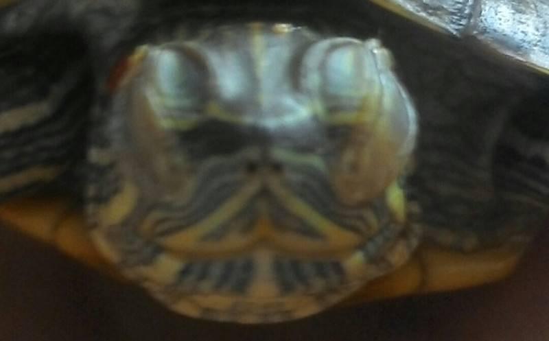Почему красноухая черепаха не открывает глаза маленькая. что делать при болезни глаз и красноухих черепах? почему черепаха не ест