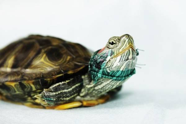 Как лечить красноухих черепах в домашних условиях. болезни сухопутных черепах в домашних условиях