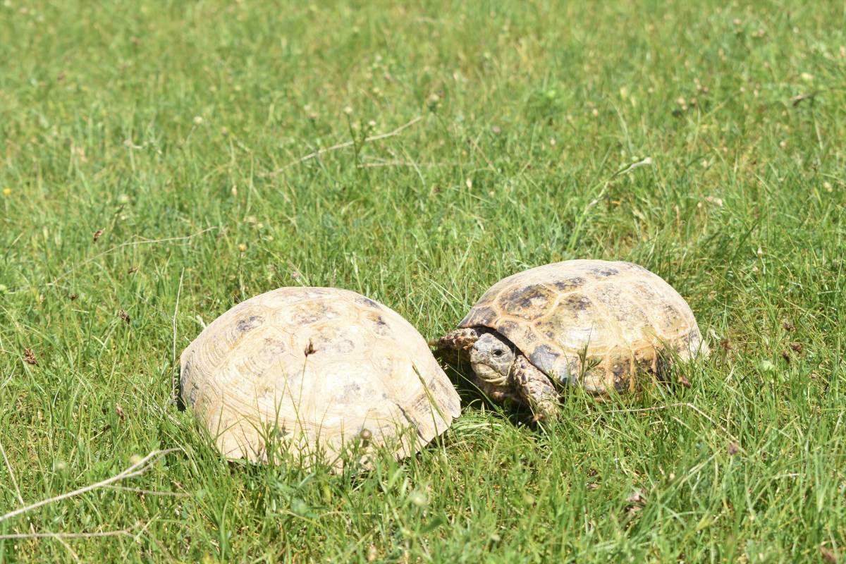 Среднеазиатская черепаха википедия
