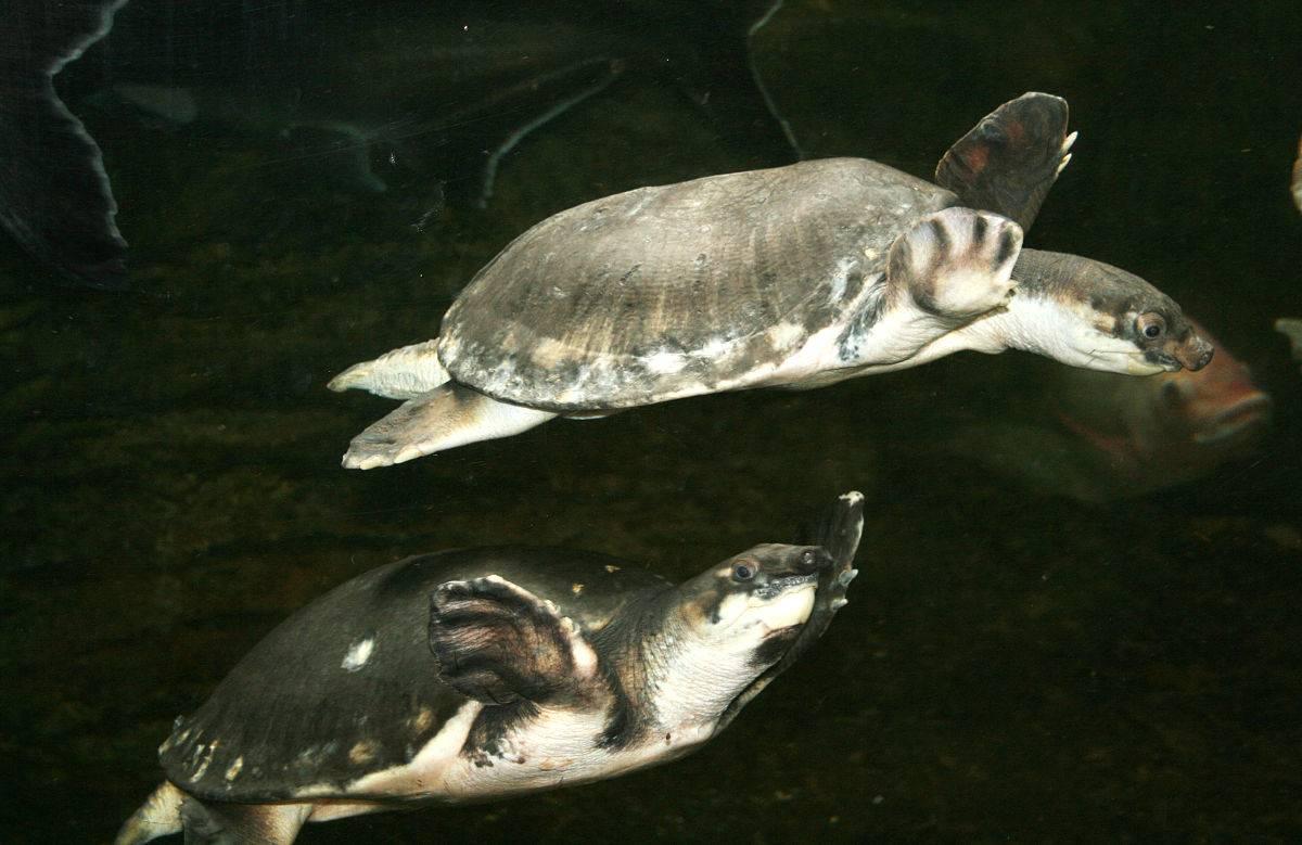 Двухкоготные черепахи — википедия. что такое двухкоготные черепахи
