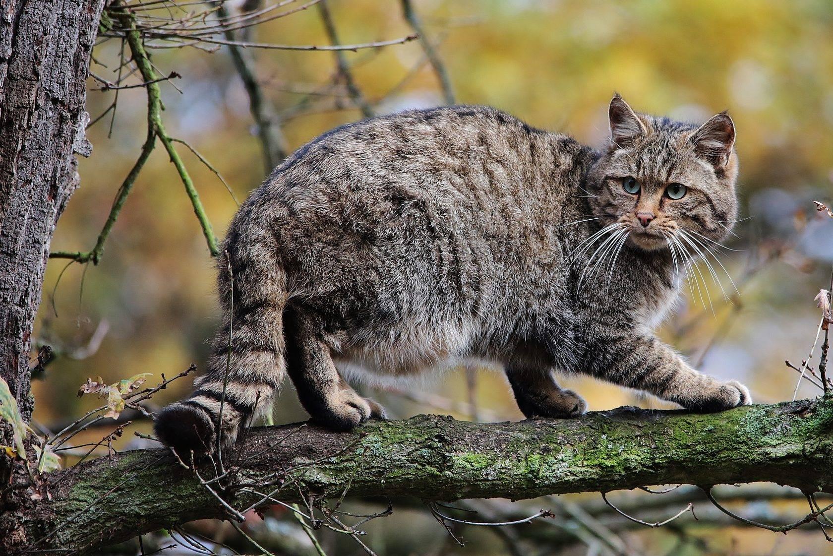 Лесной кот, размеры, ареал обитания, содержание в домашних условиях