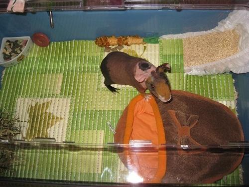 Какая подстилка лучше для морской свинки