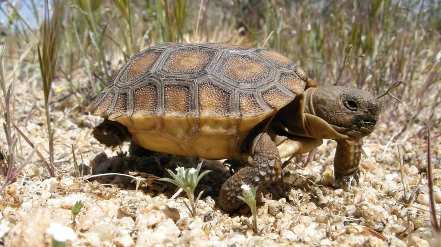 Chelonoidis denticulata (желтоногая черепаха) - черепахи.ру - все о черепахах и для черепах