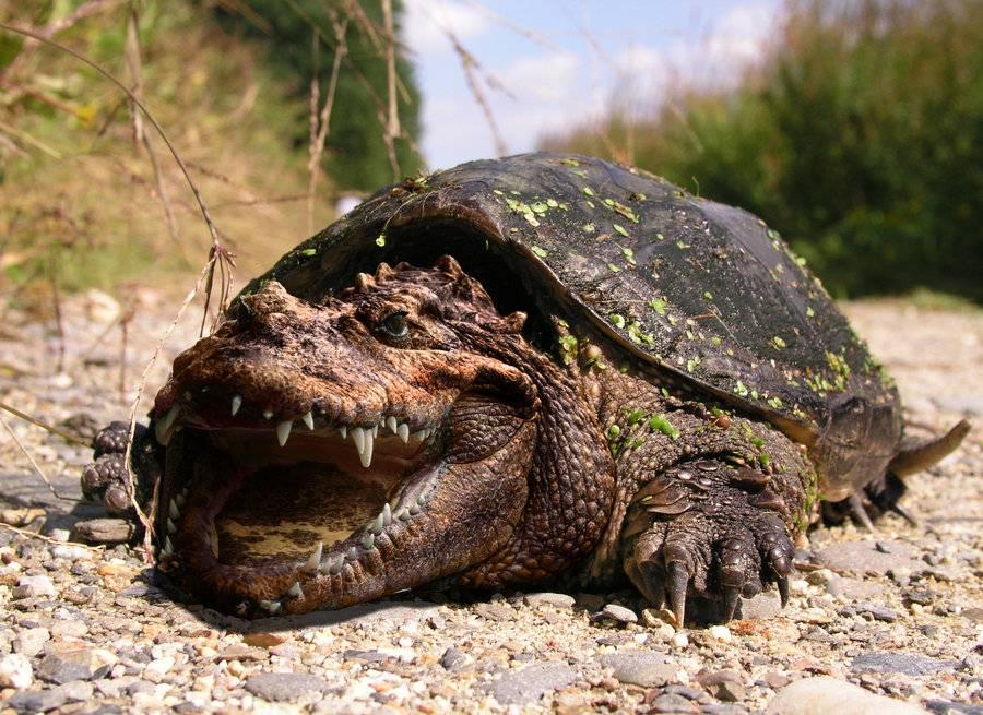 Ядовитая черепаха собака