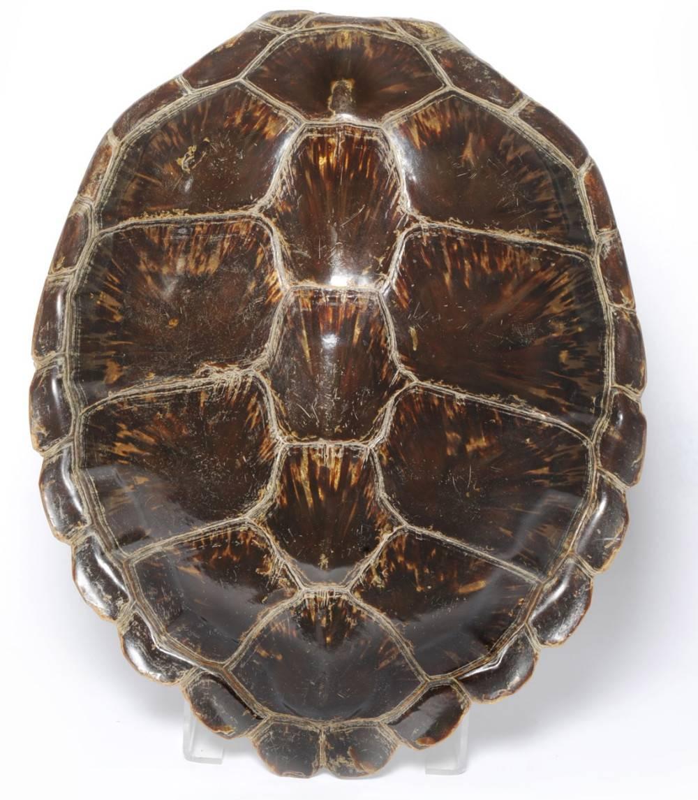Анатомия черепахи и из чего состоит её скелет и панцирь