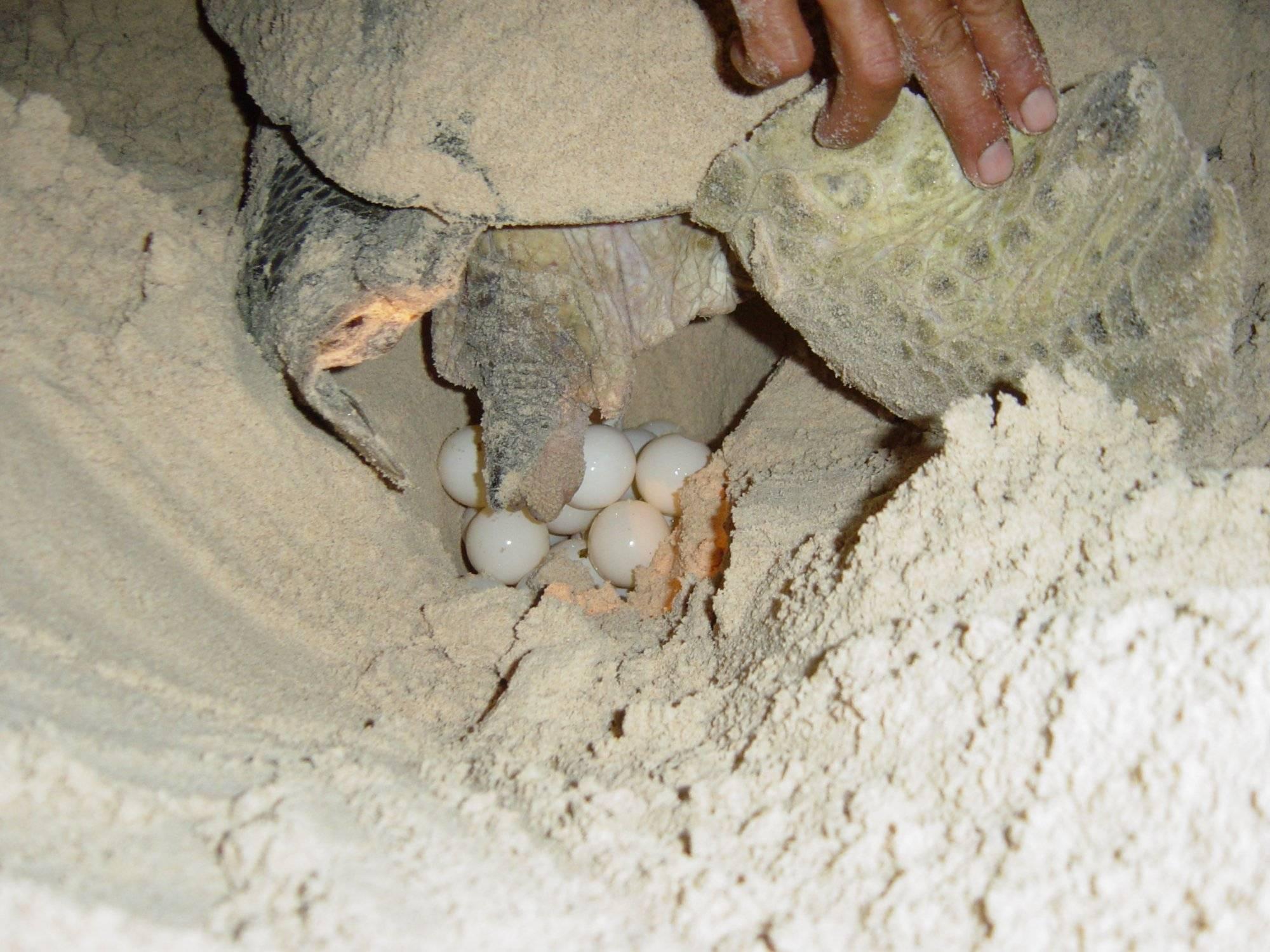Яйца черепах: питательные характеристики | food and health