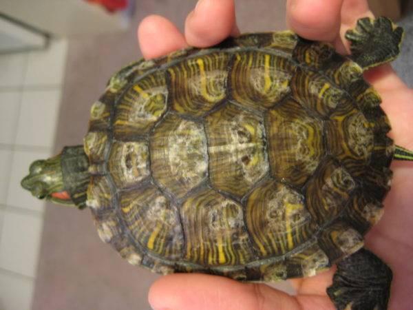 Грибок у черепахи
