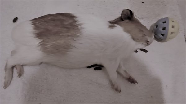 Как понять, что морская свинка умирает