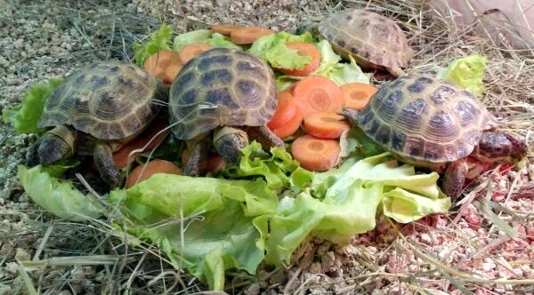 Среднеазиатская черепаха: уход и содержание в домашних условиях