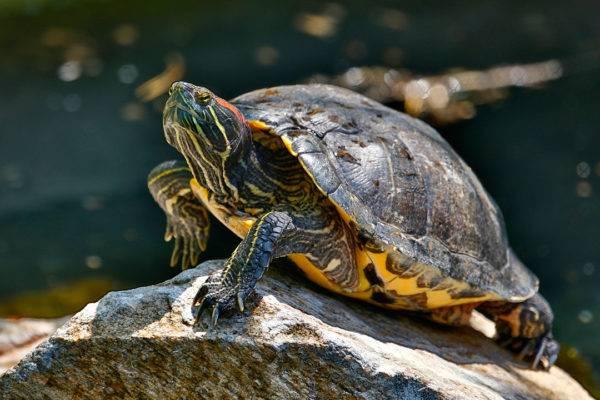 какую черепаху лучше завести дома сухопутную или водную
