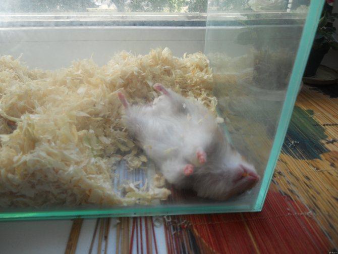Хомяк впал в спячку: что делать
